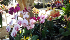 Orchids at the Market